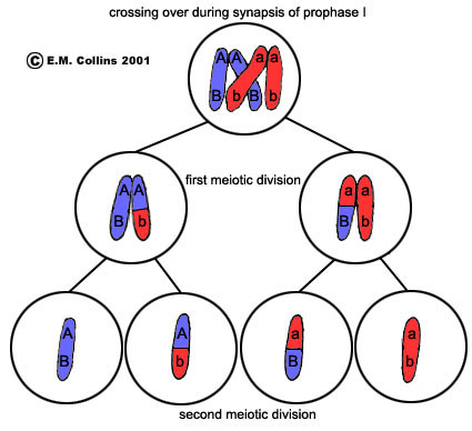 simple diagram of meiosis panasonic car audio wiring lab manual exercise 2a crossing over occurs during synapsis prophase i when the red and blue homologous chromosome doublets line up side by at this time an adjacent