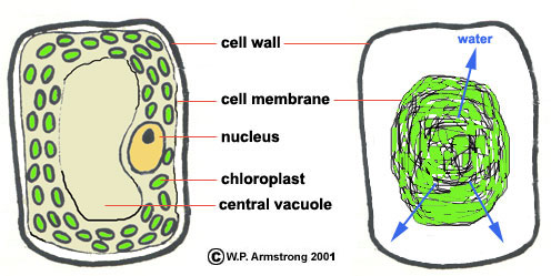 Elodea Cell Diagram