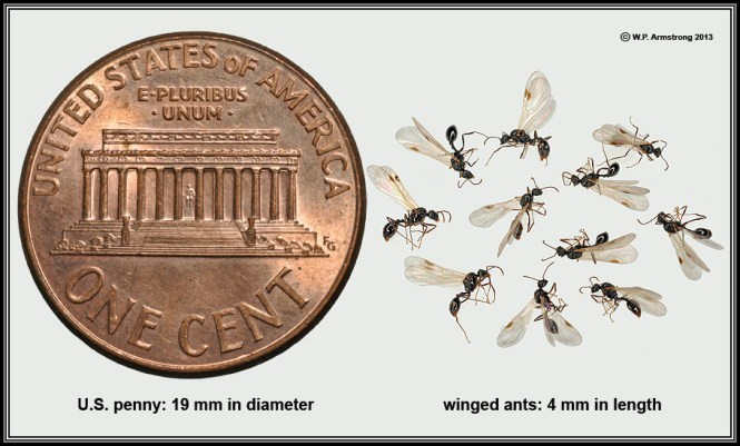 Black Ants In Home My Effective By Plan For Dealing With Carpenter Your House How To Get Rid Of Them