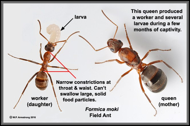 Carpenter Ants Are Easily Identified As Larger Black Ants Many Carpenter Also Have Wings