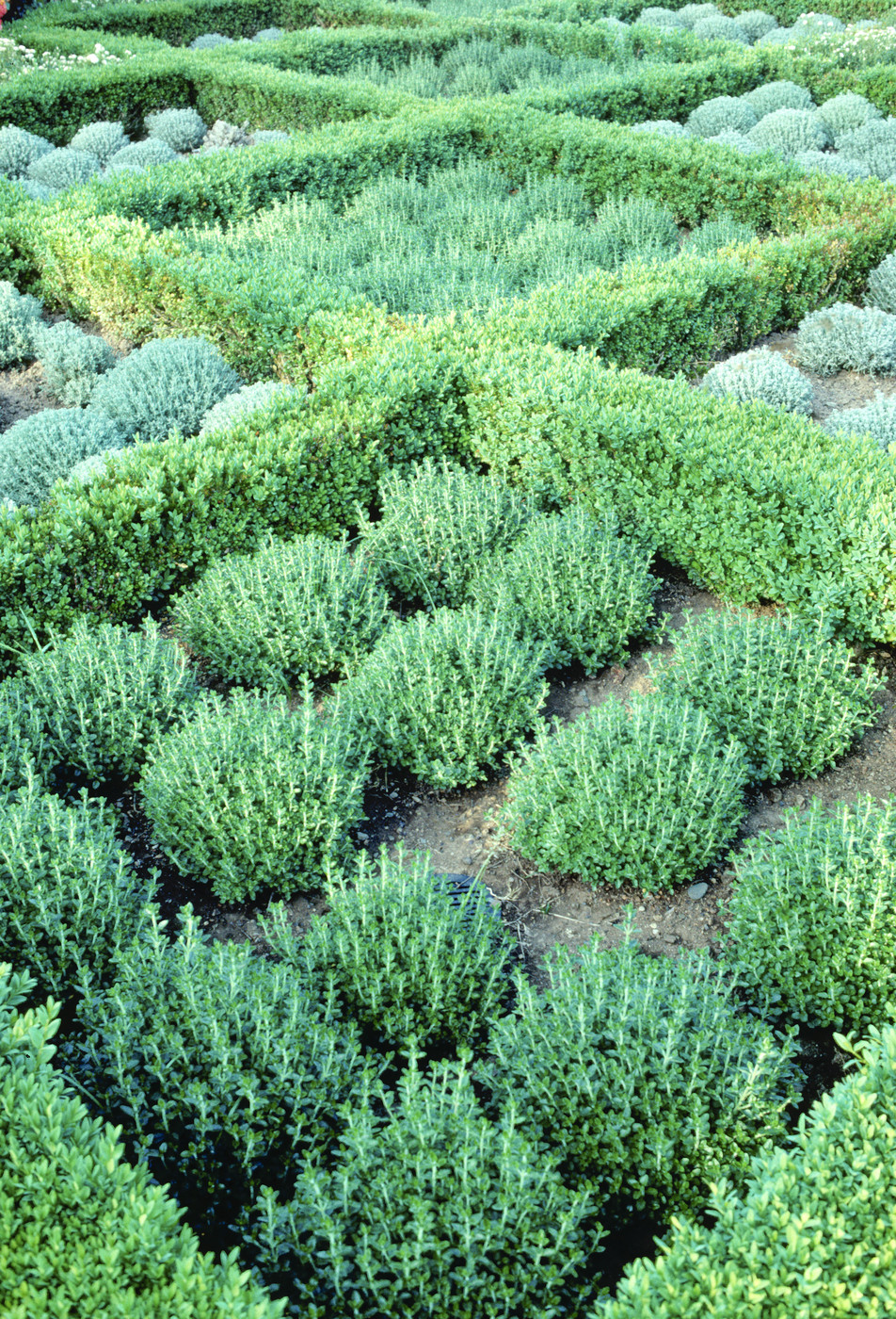 Teucrium Chamaedrys Photos Design Ideas Remodel and