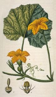 Cucurbita pepo, 1828 picture