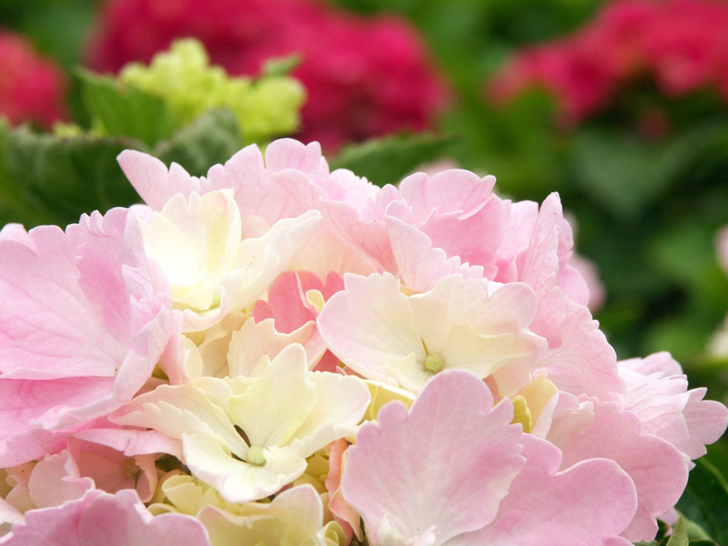 桌布下載 - 植物桌布 - 花卉攝影-繡球花桌布