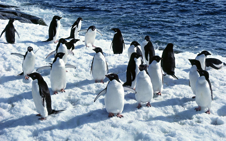 桌布下載 - 動物桌布 - 動物寫真-企鵝