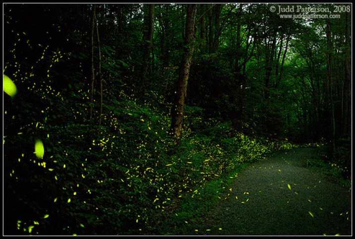 elkmont-synchronous-fireflies1