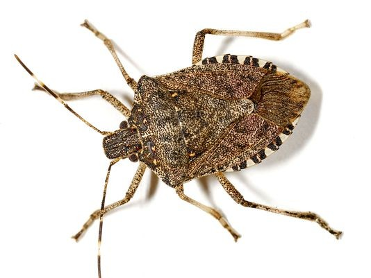 how to get rid of asian stink bugs