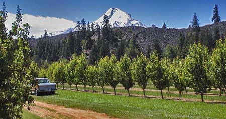 The dark wall formed by the Parkdale Lava Flow rises abruptly from the famous fruit orchards of the Hood River Valley
