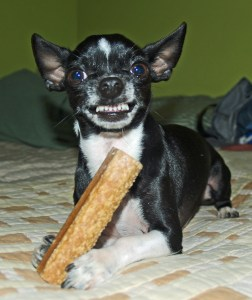 Chihuahua with bone
