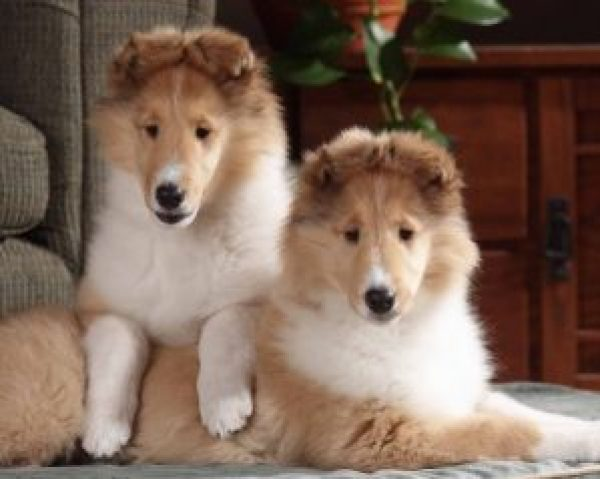Sable Collie Puppies