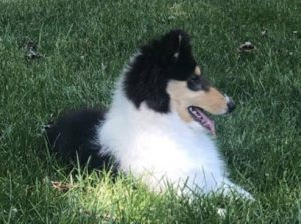 Tr-Color Collie Puppy laying in grass