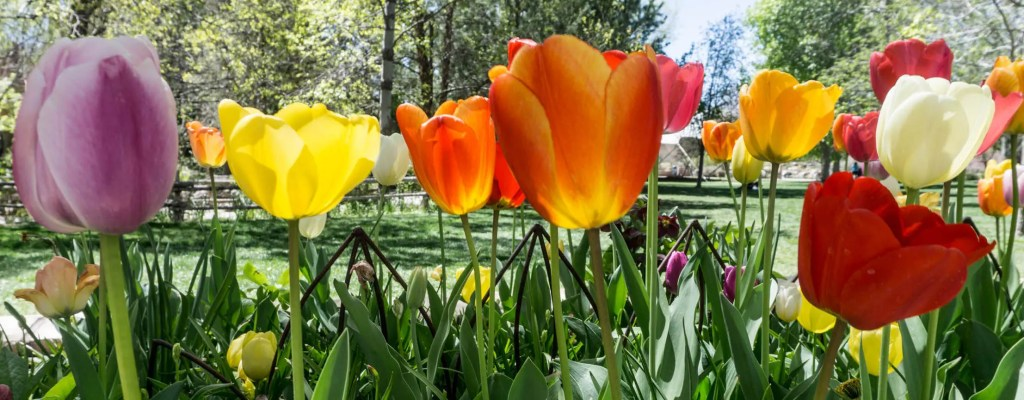 Friday Flowers: Tulip Time