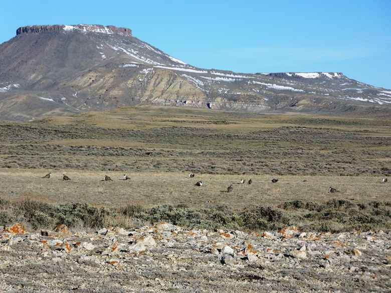 """These sage grouse were observed during a lek count in April 2010, inside a """"core area"""" designated habitat in south central Wyoming. North Table Rock is in background. (photo by Mark Bellis/USFWS)"""