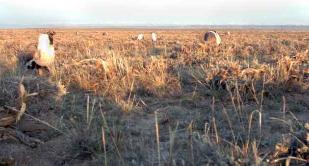 Five grouse strut around two paper mache decoys (center) made by Pinedale Middle School students Nora Legerski and Maggie Majhanovich. Trail-cam photographs and observations show that, for the first time, biologists have been able to coax grouse from a real to to an artificial lek. (Wyoming Game and Fish Department)