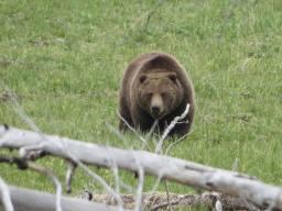 Grizzly bear near Pahaska. (Jeannie Hunt)