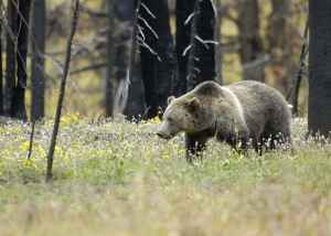 Wyoming Game and Fish still helps federal agents investigate the poaching of grizzly bears, but that could change under a bill in front of the Wyoming Legislature. In 2015 wildlife managers said they were investigating 19 Yellowstone ecosystem grizzly bear deaths as possibly illegal. (Terry Tollefsbol/U.S. Fish and Wildlife Service)