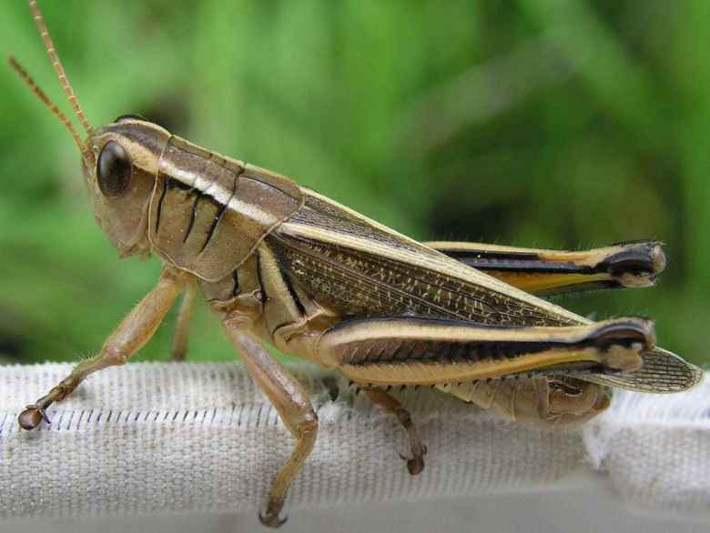 The two-striped grasshopper Melanoplus Bivittatus, along with the Wyoming's other hopper species, can can consume nearly a quarter of the state's range forage in normal years. Outbreak years can be devastating. (Alex Latchininsky)