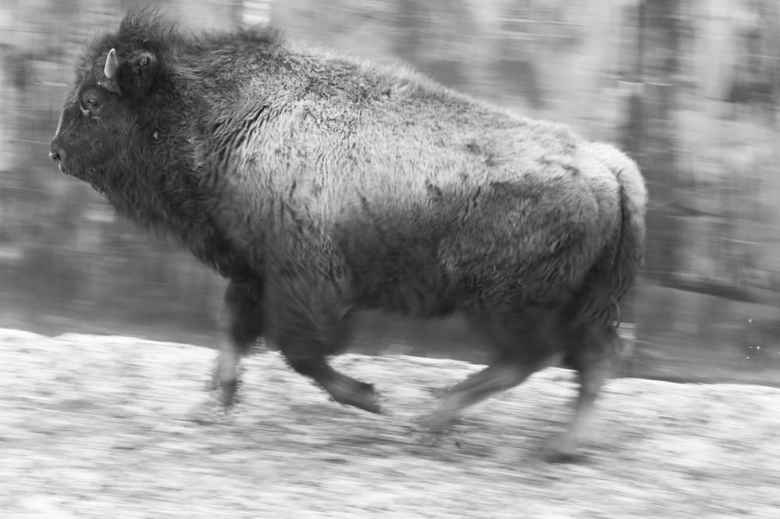 """A young bison, separated from its mother for perhaps the first time, runs into a pen at Yellowstone's Stephens Creek corral maze. Under a proposed transfer program it and some other calves could be spared slaughter and sent to a """"terminal pasture"""". (Angus M. Thuermer Jr/WyoFile)"""