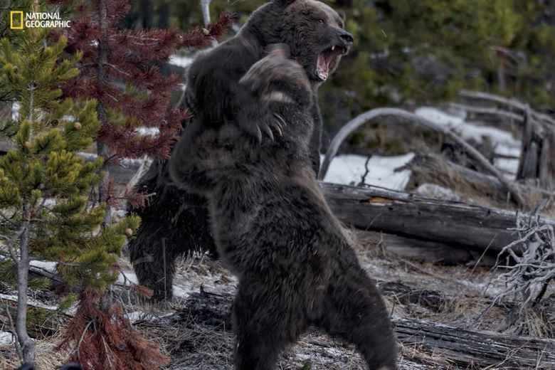 Two Yellowstone grizzlies compete for a bison carcass killed by the Canyon Pack wolves ©Michael Nichols/National Geographic. From the May issue of National Geographic magazine.