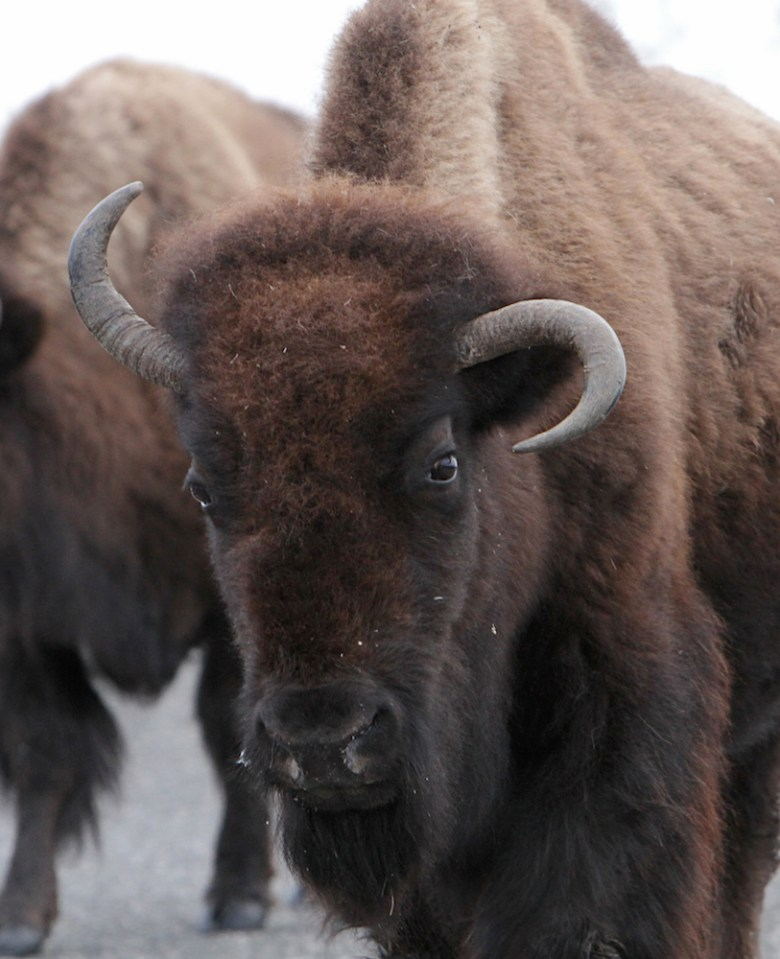 """""""The people who are petting the bison on the head, I don't know. I can't explain that one."""" — Zach Miller, University of Wyoming research assistant. (Photo courtesy of Jim Peaco)"""