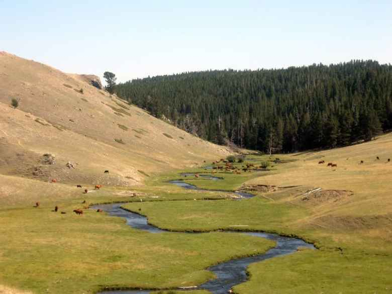 """Cows graze on the north fork of the Powder River in the Bighorn National Forest. Western Watershed Project says the """"data trespassing"""" bill that became law in Wyoming this year may require explicit permission from federal agencies to collect data on a case-by-case basis. (Flickr Creative Commons/Mia & Steve Mestdagh)"""