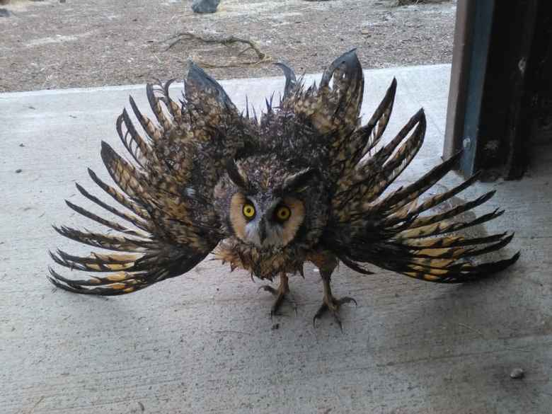 A long-eared owl was rescued from an outhouse, but suffered damage to its feathers, since its wingspread was too wide to allow escape. The Teton Raptor Center designed special vent screens to stop birds and animals from mistakenly burrowing into outhouse pipes. The Center makes the screens available to public lands agencies for $30 each. (BLM)