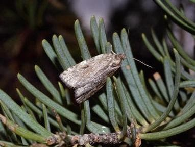 Spruce budworm grow into gray moths. They are native to Wyoming, but the Shoshone National Forest is experiencing a particularly bad outbreak of the insects. (Bill Ciesla)