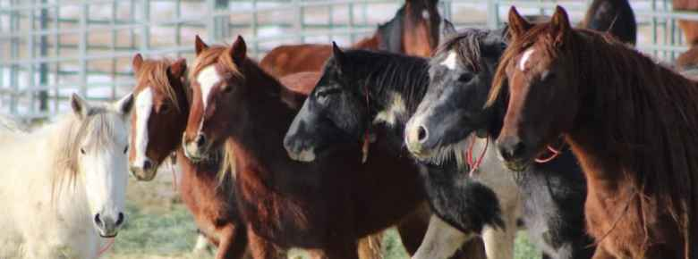 Wild horses run on BLM land in the Adobe Town Herd Management Area. Researchers are planning to collar 20 mares in mid-December to track the animals' movements for two years. (Bureau of Land Management.)