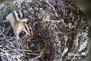 A camera catches a chipmunk in a song bird's nest in May 2015.