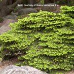 Picea abies, Bird's Nest Spruce | Photo courtesy of Bailey Nurseries, Inc.