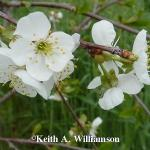 Montmorency cherry | Photo courtesy of Keith Williamson, Little Valley Nursery