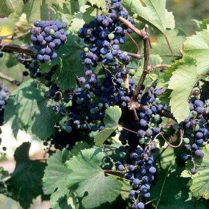 Frontenac™ Grape