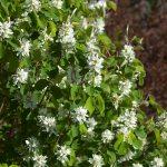 Standing Ovation Serviceberry