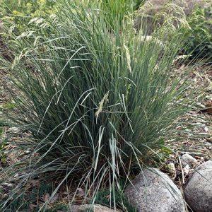 Blue Avena Grass