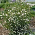Cheyenne® Mock Orange