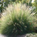 Giant Sacaton Grass