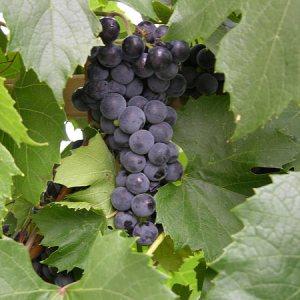 'St. Theresa Seedless' Grape