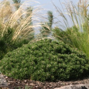 'Mitsch Mini' Mugo Pine |Photo courtesy of Iseli Nursery
