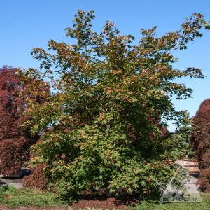 Acer pseudosieboldianum 'North Wind', summer | Photo courtesy of Iseli Nursery