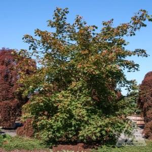 Acer pseudosieboldianum 'North Wind', summer | Photo courtesy of Iseli Nursery