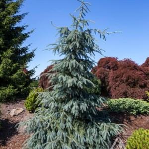 Picea englemanii 'Bush's Lace' | Photo courtesy of Iseli Nursery