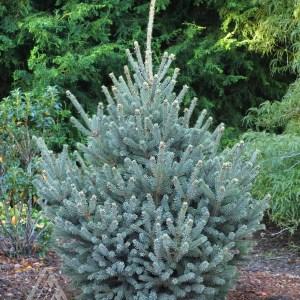Picea glauca 'Yukon Blue' | Photo courtesy of Iseli Nursery