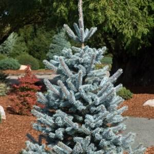 Picea pungens 'Hoopsii' | Photo courtesy of Iseli Nursery