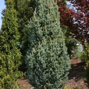 Picea pungens 'Iseli Fastigiate' | Photo courtesy of Iseli Nursery