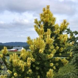 Pinus contorta 'Taylor's Sunburst'   Photo courtesy of Iseli Nursery