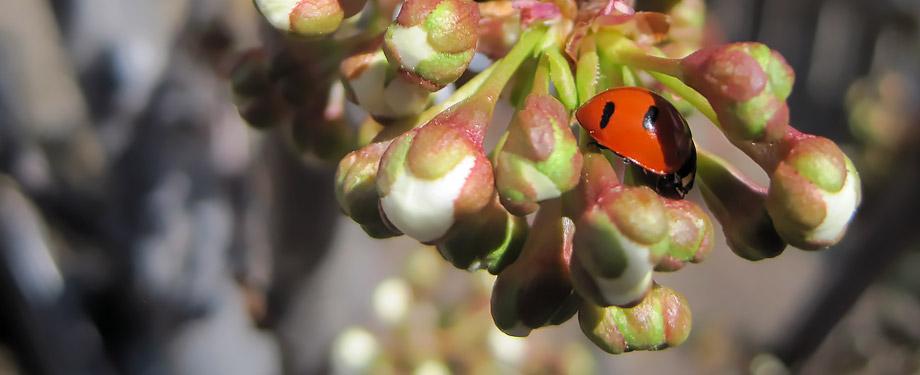 Ladybug on apple tree at Wyoming Plant Company