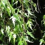 Weeping Cutleaf Birch, Betula pendula 'Laciniata' | Photo from Wikimedia Commons