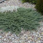 Juniperus horizontalis 'Blue Chip' | Photo courtesy of Bron & Sons Nursery Co.