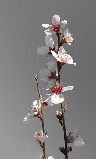 Apricot blossoms for spring cheer!