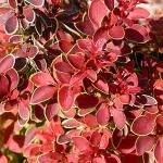 'Admiration' Barberry | Photo courtesy of Bailey Nurseries, Inc.