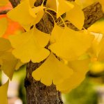 Ginkgo 'Autumn Gold' | Photo courtesy of Bailey Nurseries, Inc.